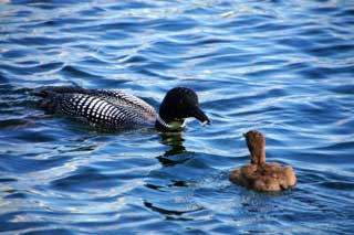 Watching the baby loon getting fed on Gull Lake at Cragun's Resort