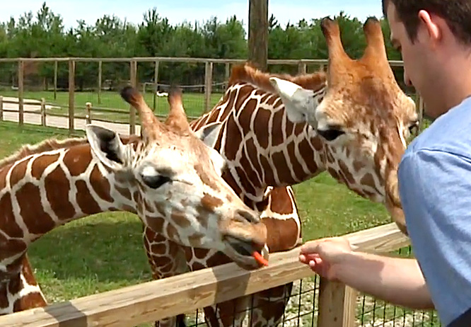 Top 10 things to do in Brainerd MN this summer is feeding giraffe at Safari North Wildlife Park