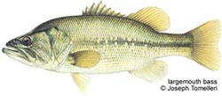 largemouth_bass[1]